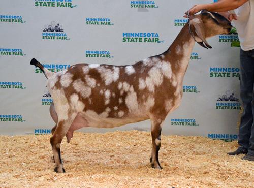 dairy goats - Poplar Hill Dairy Goat Farm- Minnesota