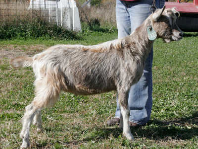 toggenburg buck for sale